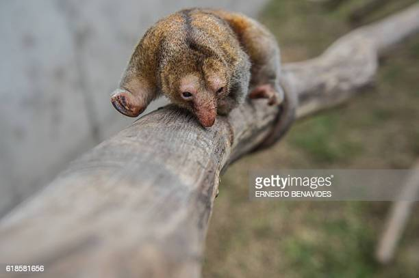 Pygmy anteater , known as a silky anteater, is seen at the Huachipa Zoo in Lima, Peru on October 26, 2016. / AFP / Ernesto BENAVIDES