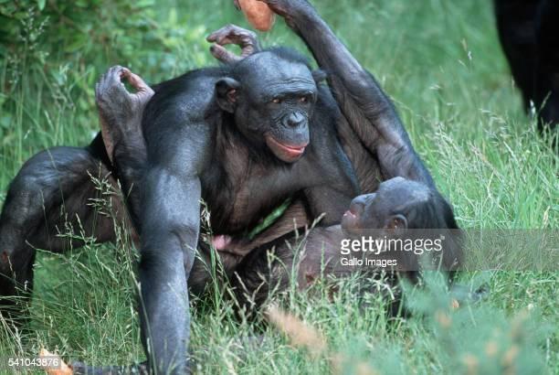 pygmy chimpanzees mating - accoppiamento animale foto e immagini stock