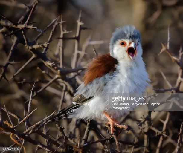 pygmy falcon screaming in tree at samburu - falcon bird stock photos and pictures