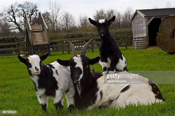 Pygmy goat mother and kids (Capra aegagrus hircus), Church farm, Suffolk, UK