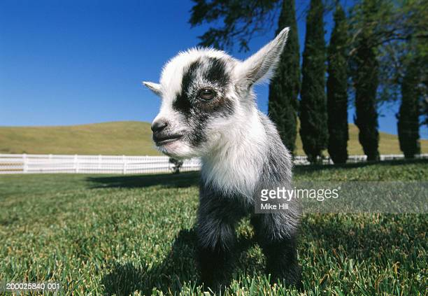 Pygmy goat on lawn, close-up (wide angle)