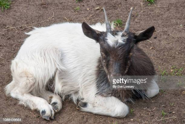 pygmy goat - hoofed mammal stock pictures, royalty-free photos & images
