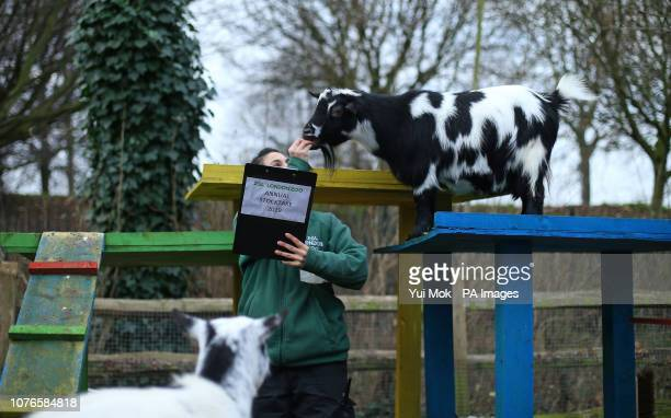 Pygmy goats are counted during the annual stocktake at ZSL