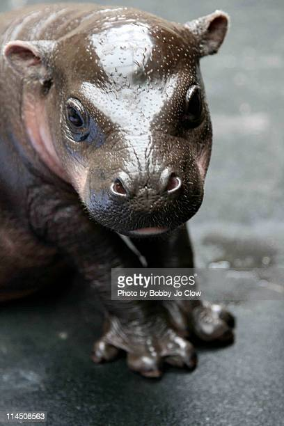 pygmy hippo - young animal stock pictures, royalty-free photos & images