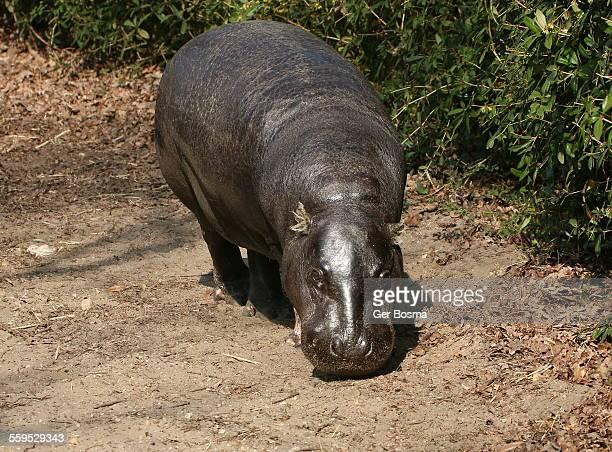 Pygmy Hippo Portrait