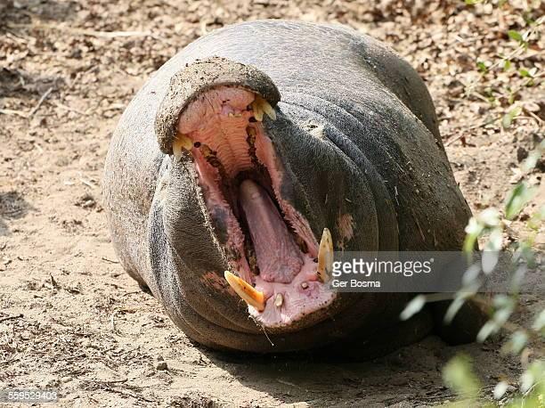 Pygmy Hippo Roar