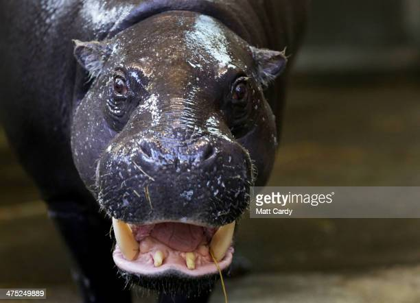 Pygmy hippo Sirana looks out of the pool in the enclosure she shares with her new baby Winnie at the pygmy hippo exhibit at Bristol Zoo Gardens on...