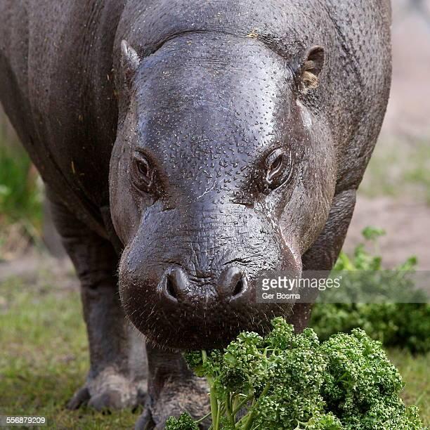 Pygmy Hippopotamus portrait
