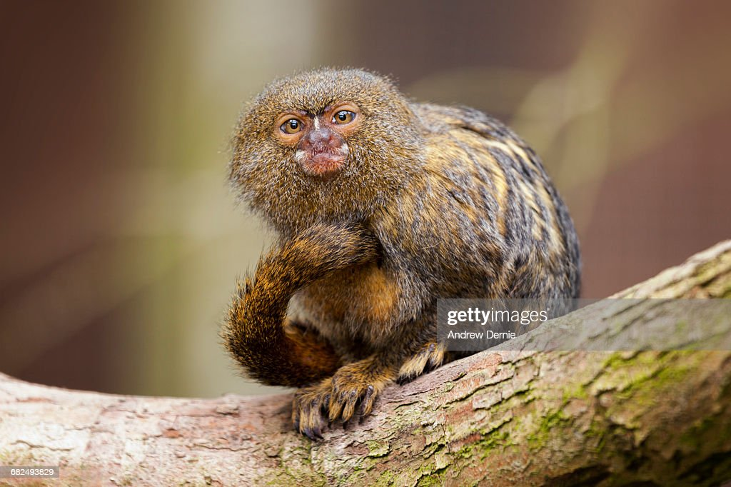 Pygmy Marmoset : Stock Photo