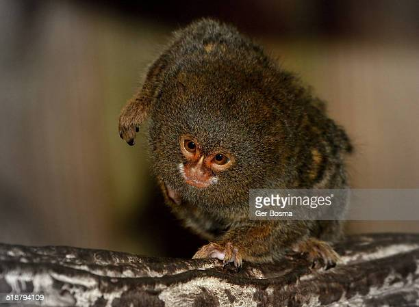 pygmy marmoset poser - monkey paw stock photos and pictures