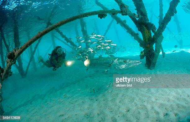 Pygmy sweeper and Scuba diver Parapriacanthus ransonneti Malaysia Pazifik Pacific ocean Borneo Lankayan