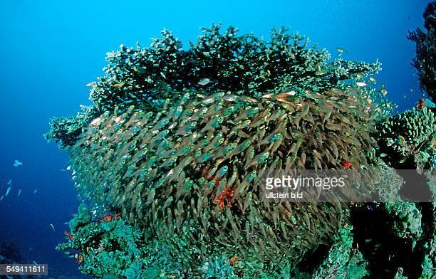 Pygmy sweeper Parapriacanthus ransonneti Egypt Red Sea Hurghada