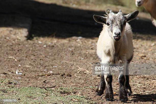 Pygmy/Cameroon Goat (Capra Aegagrus Hircus), Centurion, South Africa