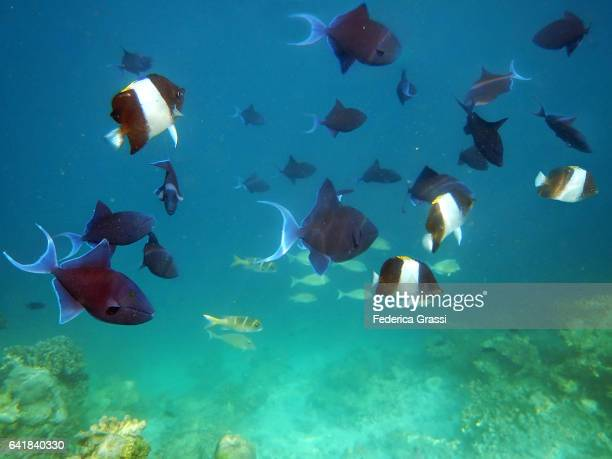 Pyramid Butterflyfish and Red-toothed Triggerfish