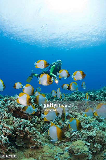 Pyramid Butterflyfishes and Diver Hemitaurichthys polyepis Molokini Crater Maui Hawaii USA