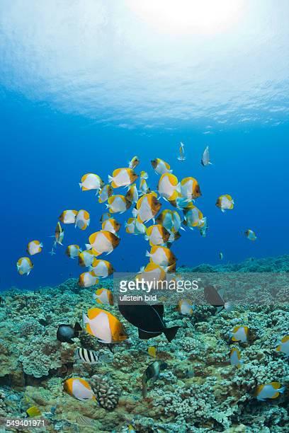 Pyramid Butterflyfishes Hemitaurichthys polyepis Molokini Crater Maui Hawaii USA