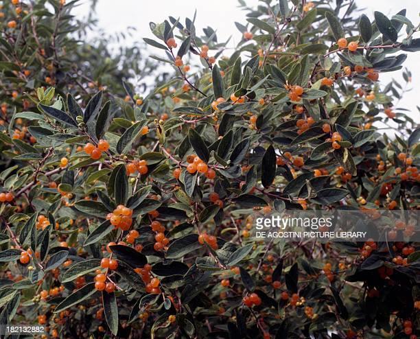 Pyrenean Honeysuckle fruitbearing branches Caprifoliaceae