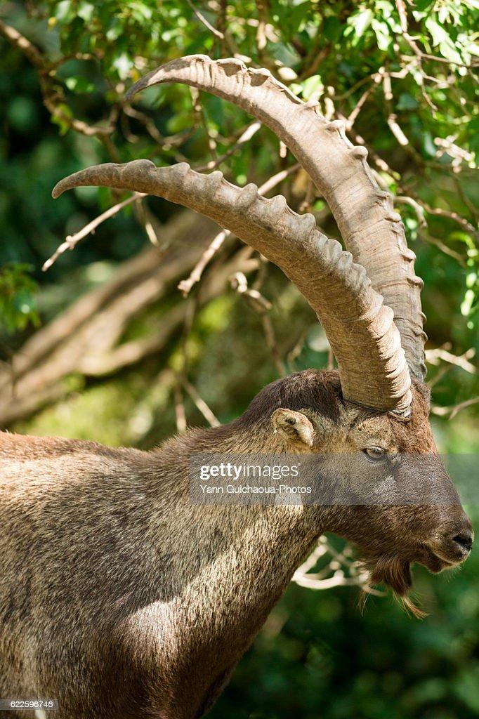 Pyrenean Ibex,Capra pyrenaica pyrenaica, Hautes Pyrenees, Midi Pyrenees, France : Stock Photo
