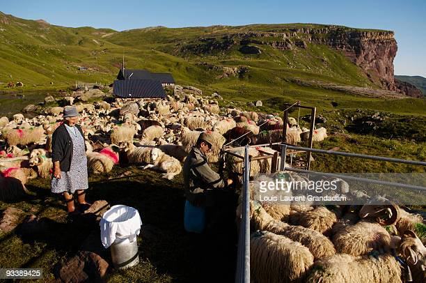 pyrenees mountains shepherds cheese - man milking woman stock photos and pictures