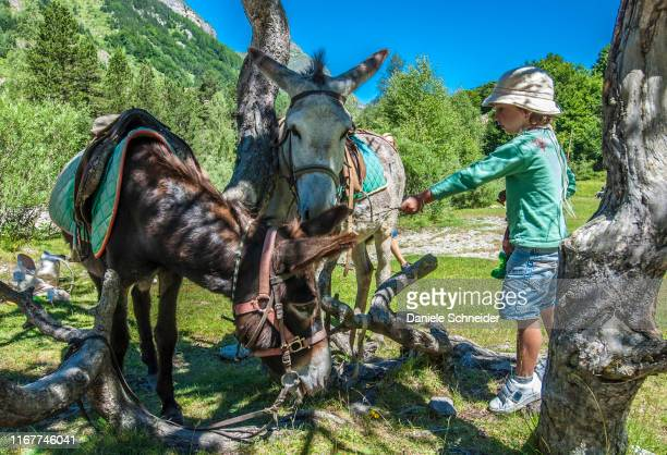 pyrenees national park, hautes-pyrenees, donkey ride in the cirque de gavarnie (unesco world heritage) - donkey stock pictures, royalty-free photos & images