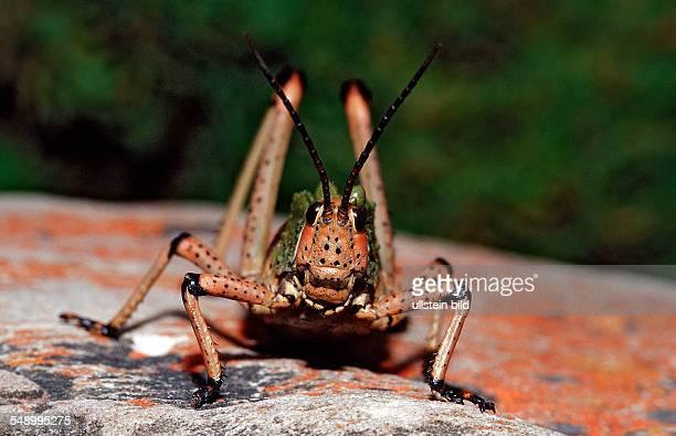 Pyrgomorphid Grasshopper Phymateus sp South Africa Tsitsikamma National Park Otter trail
