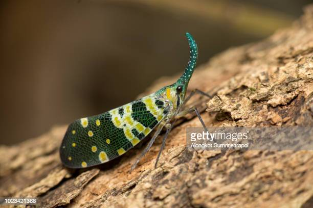 pyrops candelaria or lantern fly on wood - cicala foto e immagini stock