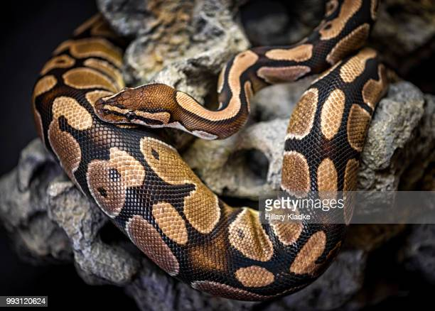 python curled up on rock - burmese python stock pictures, royalty-free photos & images