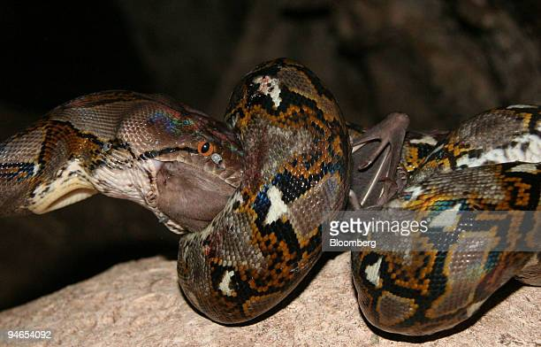 A python eats a bat in the Bat Cave Moyo Island Sumbawa in Indonesia on Sunday July 23 2006 ``We need a bigger boat'' shouted my friend and traveling...