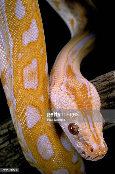 python molurus bivittatus f. labyrinth albino - indian python stock pictures, royalty-free photos & images