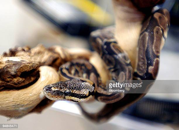 A python on sale is pictured in a pet shop in Tokyo Japan Thursday November 24 2005 In Japan the number of pet shops that sell exotic animals has...