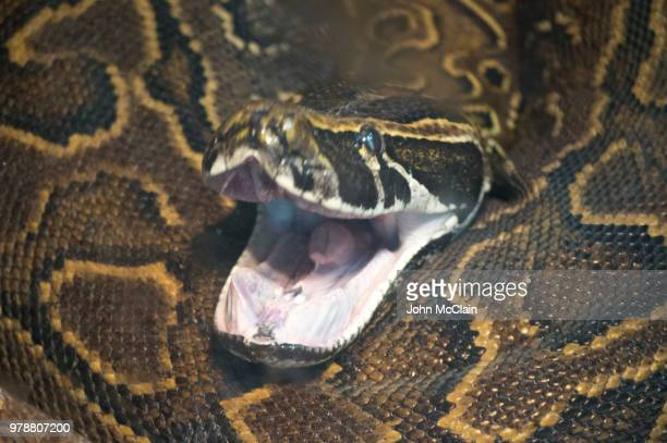 python - burmese python stock pictures, royalty-free photos & images