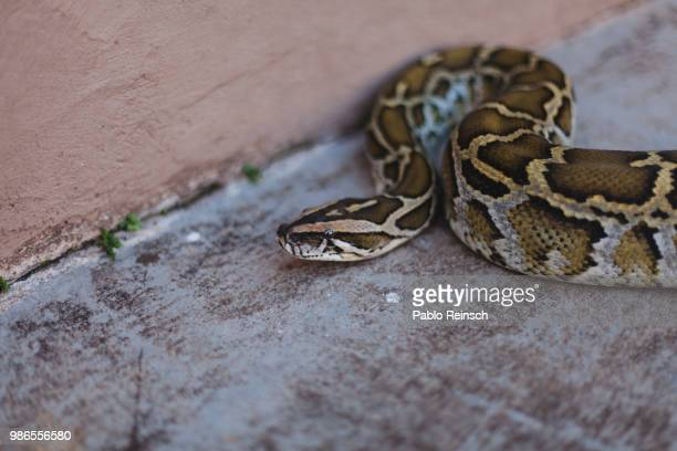 python. - burmese python stock pictures, royalty-free photos & images