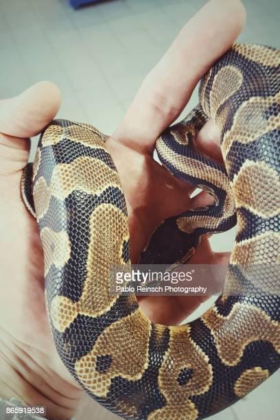 python regius - posadas stock pictures, royalty-free photos & images