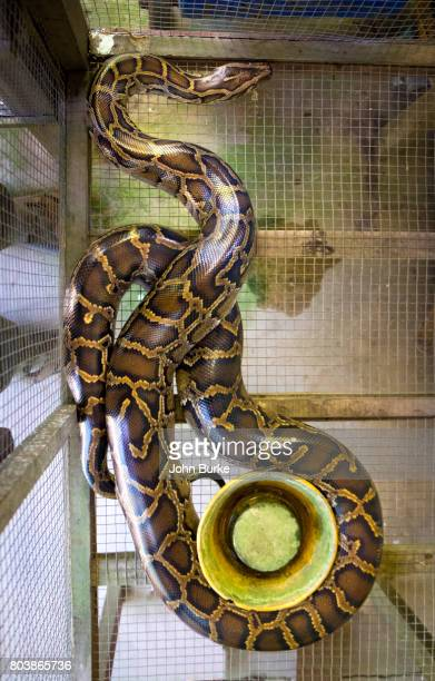 python, vietnam - burmese python stock pictures, royalty-free photos & images