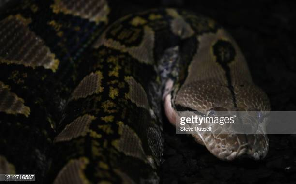 Python watches as the Toronto Zoo is still closed to prevent the spread of COVID-19 during the pandemic in Toronto. May 2, 2020.