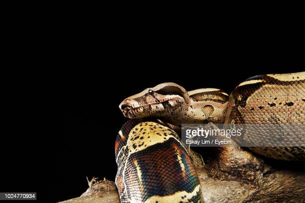 pythons on wood against black background - reptile pattern stock pictures, royalty-free photos & images