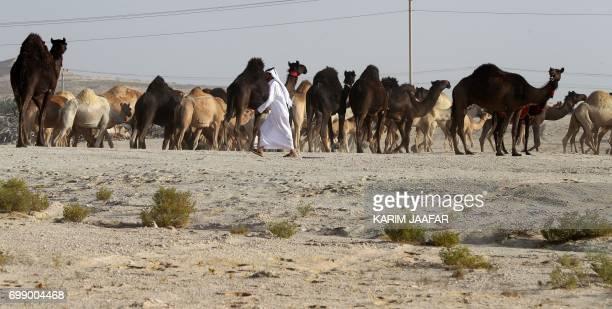 Qatari men herd camels in a desert area on the Qatari side of the Abu Samrah border crossing between Saudi Arabia and Qatar on June 21 2017 Around...