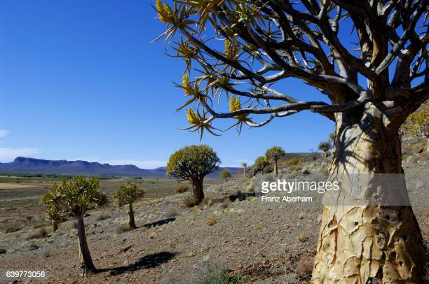 qiver tree or kokerboom in blossom, northern cape province, south africa - the karoo stock photos and pictures
