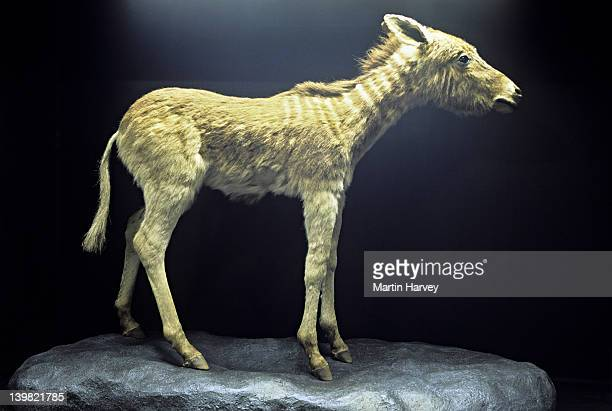 quagga foal. equus quagga quagga. hunted to extinction in the 1870s. south african museum specimen. south africa - extinct stock pictures, royalty-free photos & images