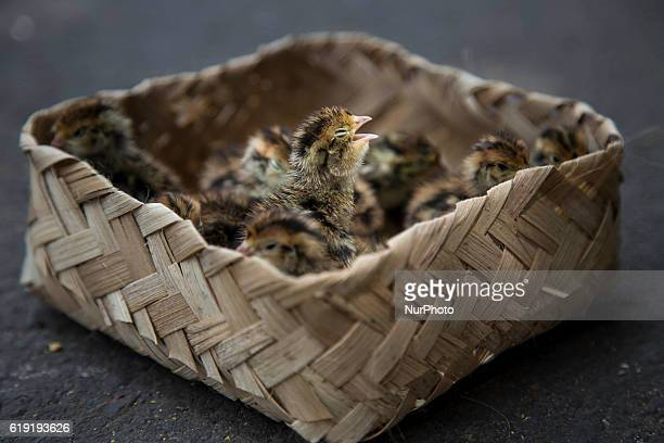 Quail Chicks sold on the street of Jakarta Indonesia on 30 October 2016 The seller claim that the quail is Wild Chiks from the jungle the unique...