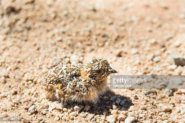 quail -coturnix coturnix- chick sitting on gravel road, namibia - common quail stock pictures, royalty-free photos & images