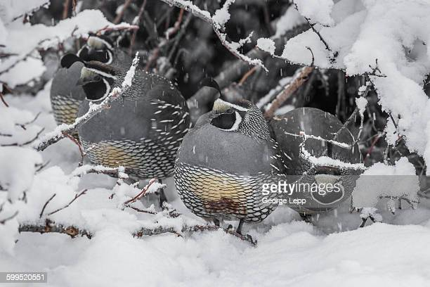 quail covey in the snow - quail bird stock photos and pictures