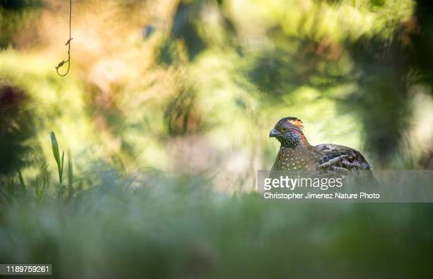 a quail with the highland vegetation in costa rica - christopher jimenez nature photo stock pictures, royalty-free photos & images