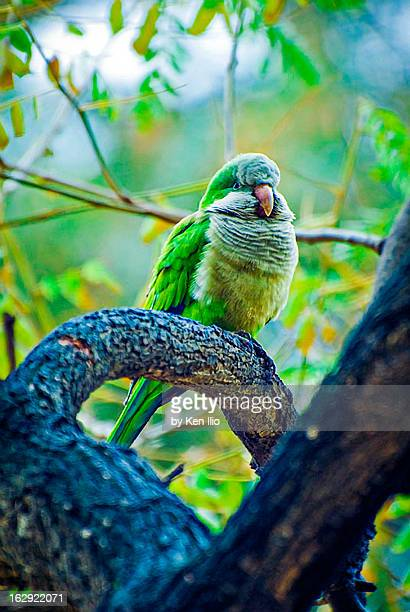 quaker parrot - ken ilio stock pictures, royalty-free photos & images