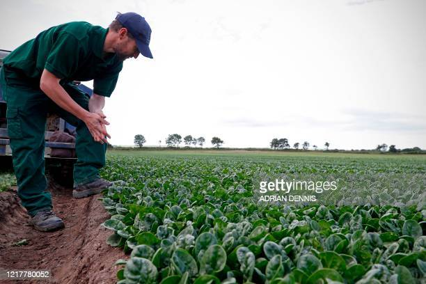 Quality Control Manager Jason Bushnell looks at the spinach as the UK Seasonal Relief Team working for The Watercress Company harvest spinach on...