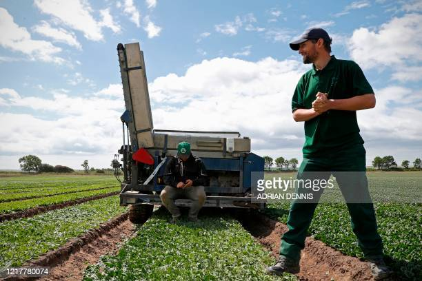 Quality Control Manager Jason Bushnell stands in a spinach bed as the UK Seasonal Relief Team working for The Watercress Company harvest spinach on...