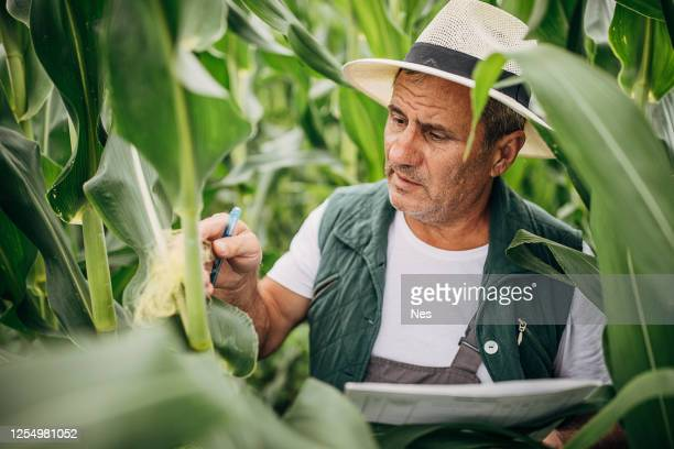 quality control of maize cultivation - agronomist stock pictures, royalty-free photos & images
