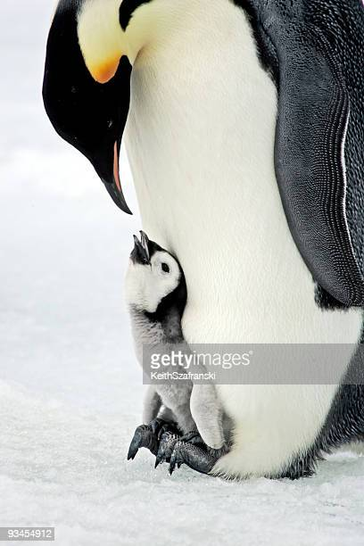quality time! - pinguïn stockfoto's en -beelden