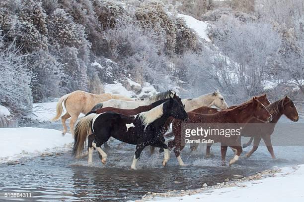 Quarter horses crossing Shell River