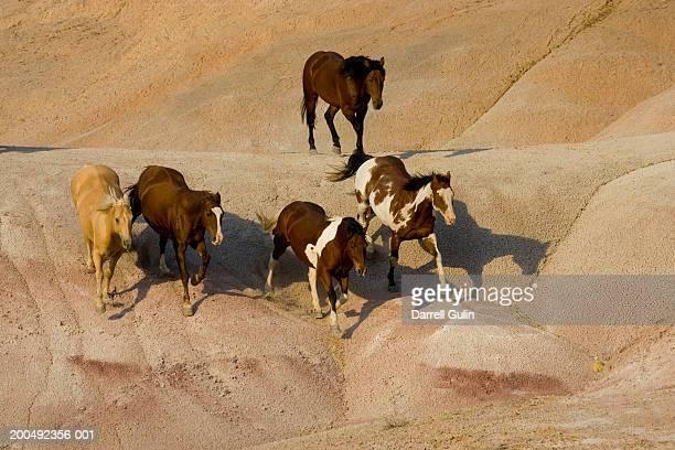 Quarter horses (Equine caballus) running, elevated view